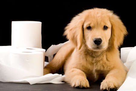 poop: cute, soft puppy in a pile of toilet paper Stock Photo