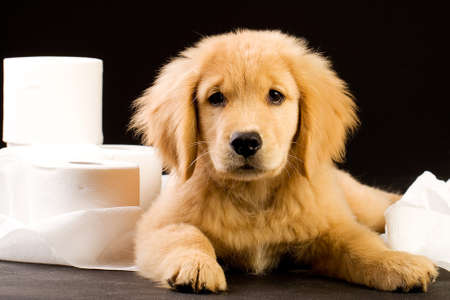 cute, soft puppy in a pile of toilet paper Stockfoto