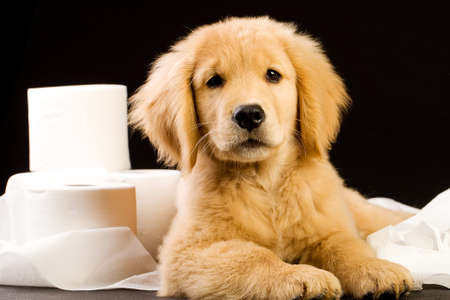 toilet paper: cute, soft puppy in a pile of toilet paper Stock Photo
