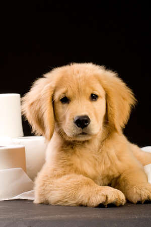 house trained: soft, fluffy Golden Retriever puppy dog house trained with toilet paper Stock Photo