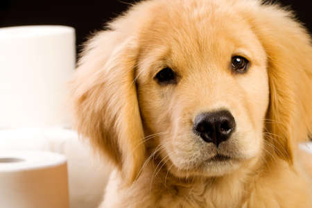 soft, fluffy Golden Retriever puppy dog house trained with toilet paper Stockfoto