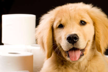 Cute Golden Retriever Puppy with soft, fluffy toilet paper photo