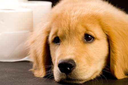 Cute Golden Retriever Puppy with soft, fluffy toilet paper