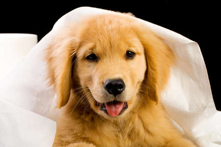soft tissue: soft, fluffy Golden Retriever puppy dog house trained with toilet paper Stock Photo