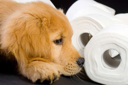 potty: soft, fluffy Golden Retriever puppy dog house trained with toilet paper Stock Photo