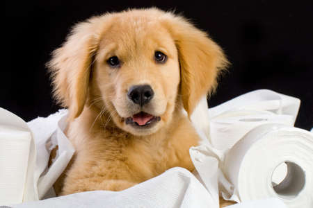 paper sheet: soft, fluffy Golden Retriever puppy dog house trained with toilet paper Stock Photo