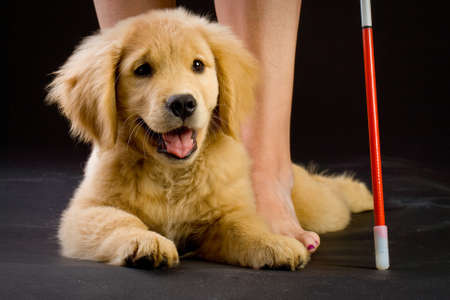 Guide Dog in Training Stock Photo - 10741446