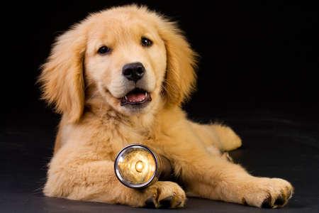 Golden Retriever Puppy with Flashlight Banco de Imagens - 10944731