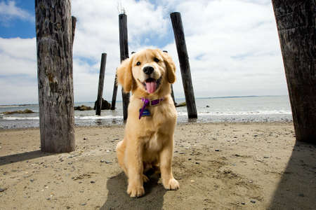 Golden Retriever Puppy Stockfoto - 10944739