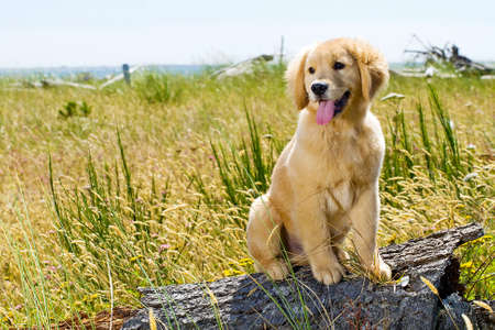 golden retriever puppy: cute dog Stock Photo
