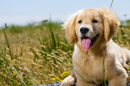 animal tongue: Golden Retriever Puppy