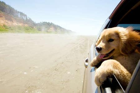 Puppy hond met hoofd uit autoraam op het strand Stockfoto - 10741202