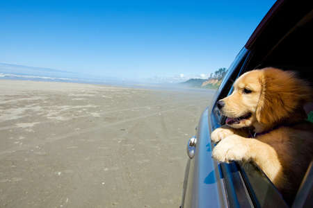 Puppy dog with head out car window at the beach