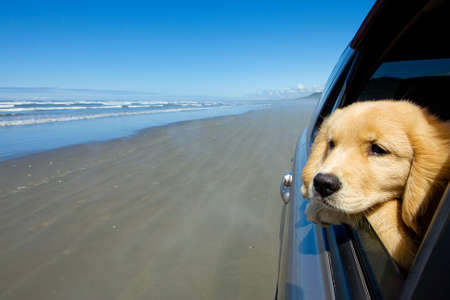 scenic drive: Puppy dog with head out car window at the beach