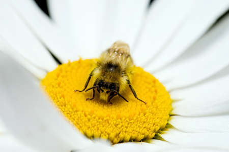 bee on flower: Bumble Bee Pollinating a Daisy Stock Photo