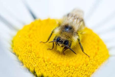 Bumble Bee Pollinating a Daisy Фото со стока