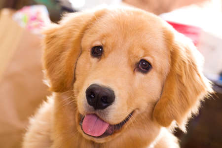 happy young golden retriever with his tongue sticking out photo
