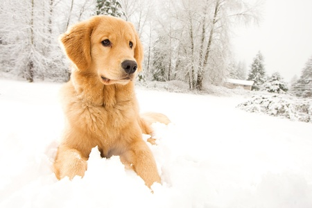 winter jacket: Beautiful Golden Retriever Dog in the snow