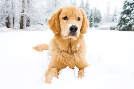 Beautiful Golden Retriever Dog in the snow
