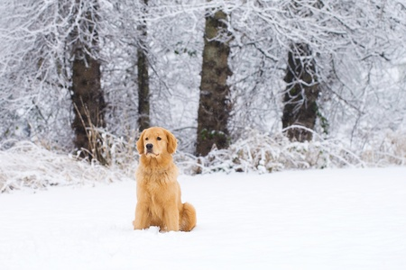 blizzard: Beautiful Golden Retriever Dog in the snow