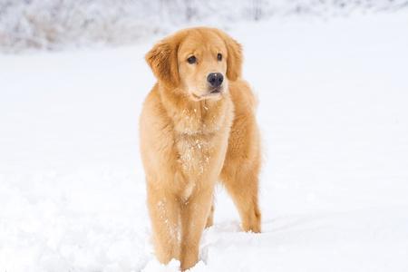 Mooie Golden Retriever Hond in de sneeuw Stockfoto - 12010287
