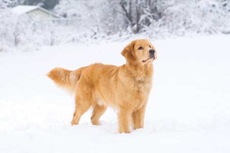 Beautiful Golden Retriever Dog in the snow photo