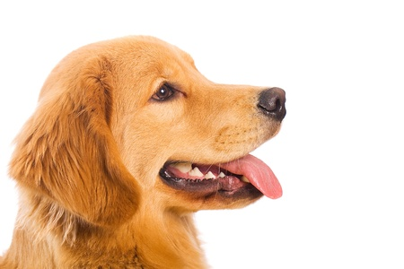golden retriever profile Stock Photo