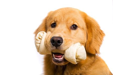 Golden Retriever with a Rawhide Chew bone Фото со стока