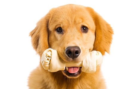 Beautiful Golden Retriever holding a rawhide chew bone