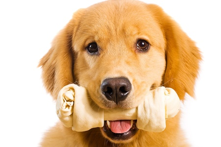 Golden Retriever with a Rawhide Chew bone 스톡 콘텐츠