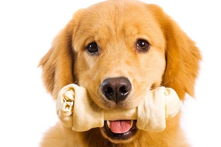 snack: Golden Retriever with a Rawhide Chew bone Stock Photo