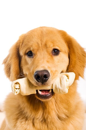 fluffy ears: Golden Retriever with a Rawhide Chew bone Stock Photo