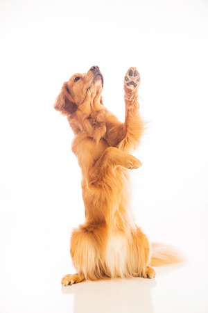 A golden retriever dog sitting pretty and begging for food