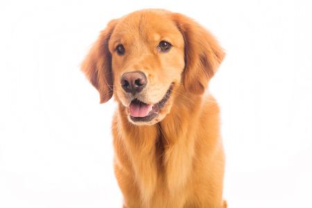Een mooie golden retriever dog