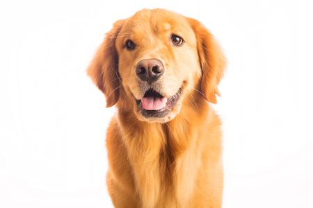 아름 다운 골든 리트리버 강아지