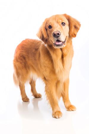 아름다운 골든 리트리버 강아지