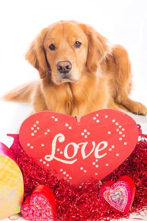 발렌타인에 누워있는 아름 다운 골든 리트리버 강아지 스톡 콘텐츠
