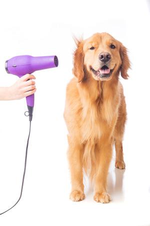 그의 모피를 점점 골든 리트리버 강아지는 groomer에서 송풍기와 함께 건조.