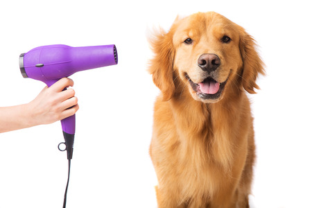 Golden Retriever getting groomed with blowdryer