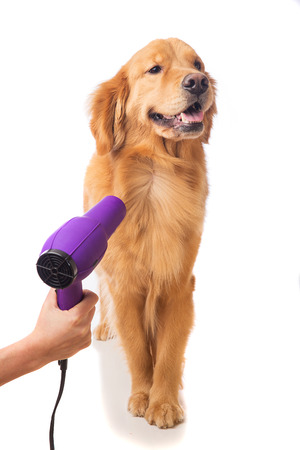 Groomer using blowdryer on a dog Фото со стока