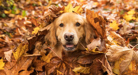 Happy Golden Retriever Dog in a pile of Fall leaves Stockfoto