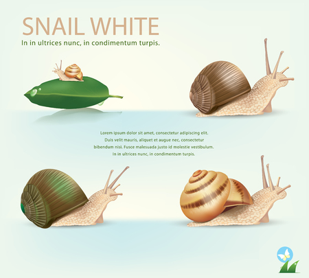 slowness: Garden Snail in front of white background.vector