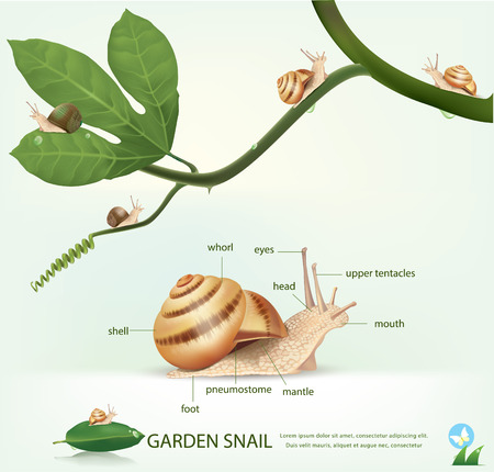 mucus: Garden snail on a branch, isolated on white.vector