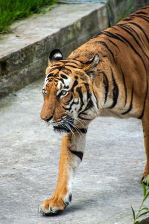 sumatran tiger: La tigre di Sumatra (Panthera tigris sumatrae) in zoo di Praga