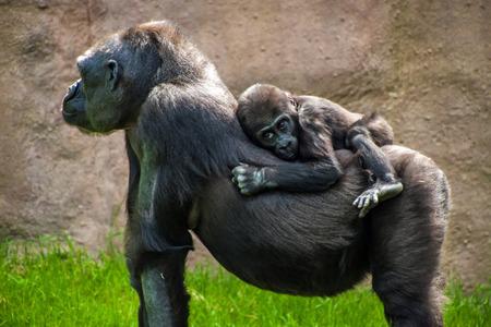 western lowland gorilla: Gorilla di pianura occidentale (Gorilla gorilla gorilla) in zoo di Praga