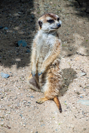 suricatta: Meerkat or suricate (Suricata Suricatta) in Prague zoo