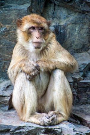 sylvanus: Barbary macaque (Macaca Sylvanus) in Prague zoo