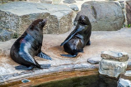 South African Fur Seals (Arctocephalus pusillus) in Prague zoo