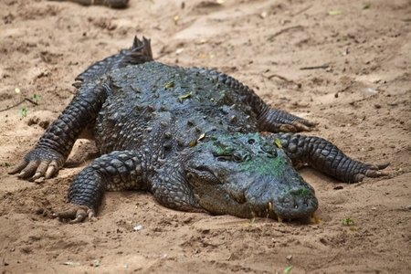 mugger: Mugger or Marsh Crocodile (Crocodylus palustris) Stock Photo
