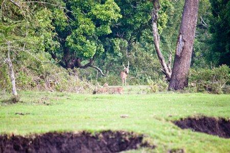 axis: Ciervos salvajes (eje sambar o eje) en el parque nacional de Mudumalai, India